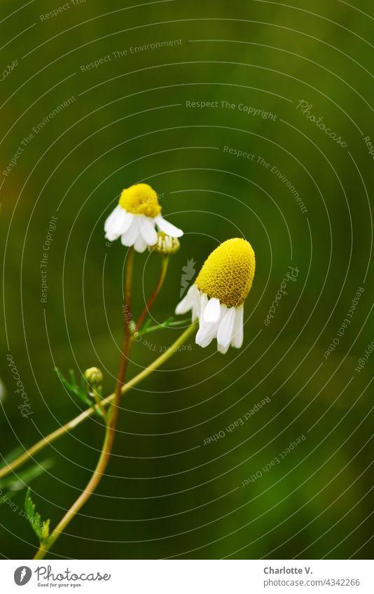 Kamille Kamillenblüten Pflanze Natur Blume Blüte Sommer Tag Außenaufnahme Farbfoto Blühend Menschenleer gelb grün weiß Duft Heilpflanzen Schwache Tiefenschärfe