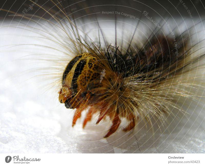 Komm näher Tier hell Insekt Raupe Motte Farbverlauf Schwammspinner