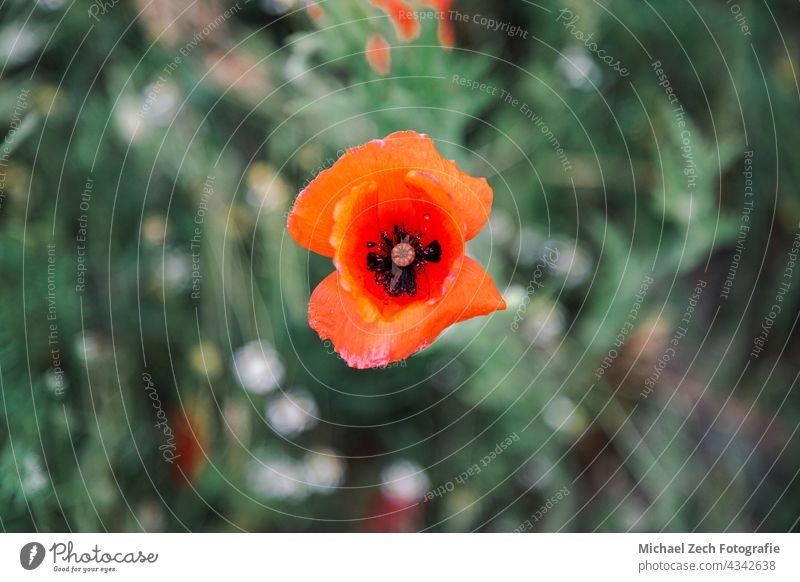 Makroaufnahme eines roten Mohns oder Papaver rhoeas wild Garten Pflanze Blütenblatt Blume Natur allgemein Blütenknospen Flora Hintergrund grün geblümt schließen