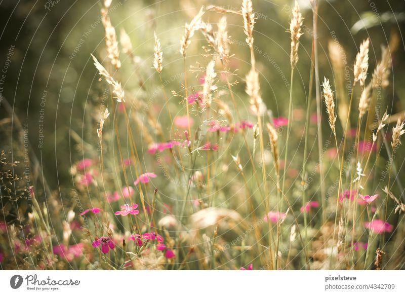 Wildblumen auf einer Sommerwiese sonne Wiese Wildblumenwiese Sonnenschein Wildwuchs Wildblumenstrauß Wildblumenbeet Wiesenblume Märchen geblümt Blume Pflanze