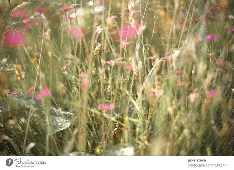 Wildblumen auf einer Sommerwiese Wiese Blumenwiese Umwelt Blüte pink Sommerzeit Sommertag Frühling klimawandel Pflanzen wachsen Natur Bienensterben gärtnern