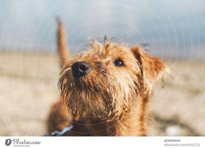 Portrait eines jungen Hundes (Irish Terrier) am Strand welpe irish terrier jungtier fell bellen lieb streicheln klein süß niedlich haustier Hundeblick