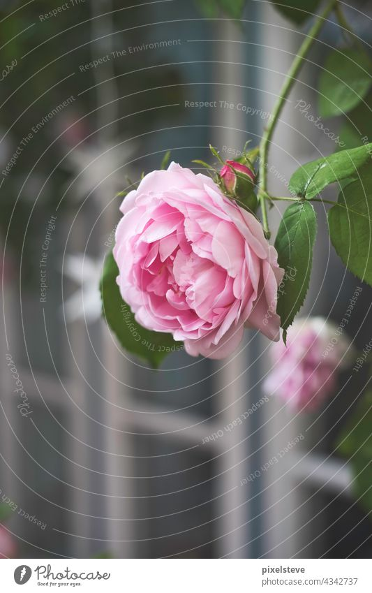 Blühende Kletterrose vor einer Fensterfront Rose kletterrose englische rose Blume Rosenblüte pink rosa deko Garten Blüte Liebe Natur gärtnern Valentinstag