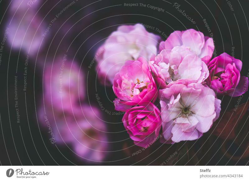duftender Rosenbusch Rosenstrauch romantisch Romantik Rosenduft Rosenblüten Strauchrosen rosa Rosen blühende Rosen duftende Rosen Gartenrosen romantische Rosen