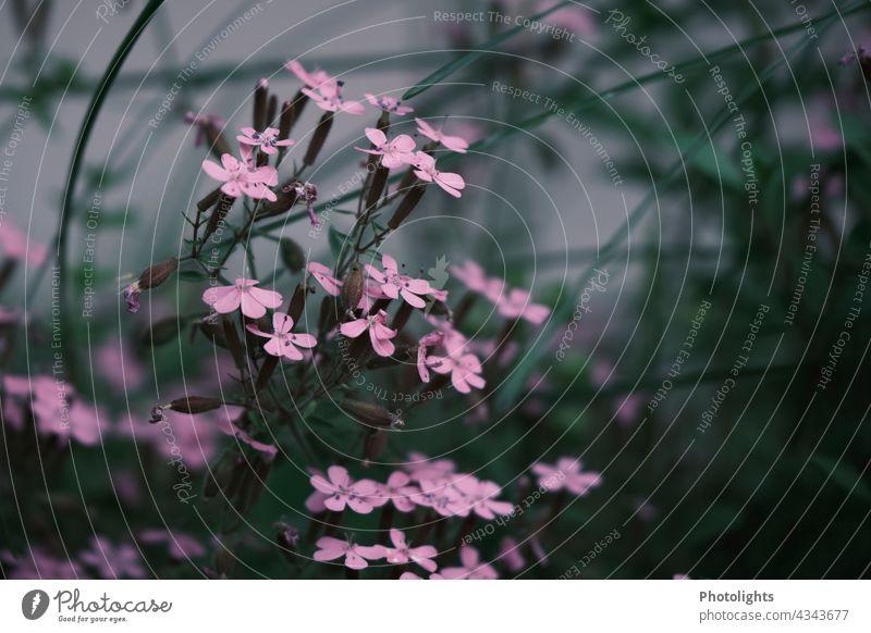 Zarte rosa Wildblumen am Wegesrand zart Blumen Pflanzen Blüten Natur natürlich Frühling Unschärfe unscharf blühend Farbfoto Nahaufnahme Schwache Tiefenschärfe