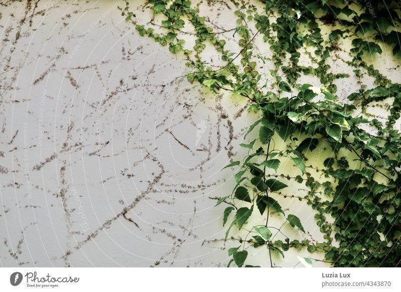 Selbstkletternde Jungfernrebe, wilder Wein an einer alten Hauswand. Grüne Triebe und Reste alter Haftscheiben teilen sich das Bild. Schlingpflanze Natur