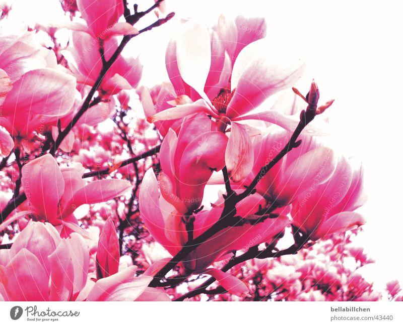 pinkflowers Baum Blüte Frühling rosa