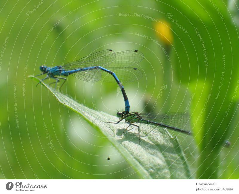 Libellen-Liebe Umwelt Natur Sonne Frühling Sommer Schönes Wetter Pflanze Blatt Garten Teich Tier Wildtier Flügel Insekt Libellenflügel Tierpaar blau grün