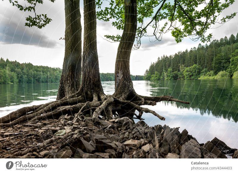 Wurzeln der Buchen am Seeufer Natur Wasserstand Talsperre Pflanze Baum Blätter Ufer Überschwemmung Hochwasser Wald Spiegelung Reflexion Himmel Wolken Pegelstand