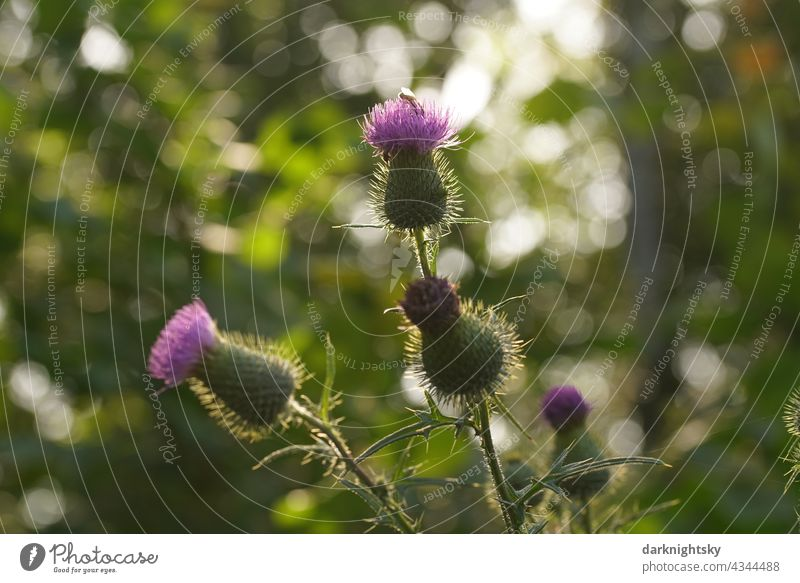 Distel Pflanze mit jungen Blüten oder Knospen im warmen Licht der tief stehenden Sonne, Cirsium kratzdistel Cirsium flodmanii stachelig Farbfoto grün