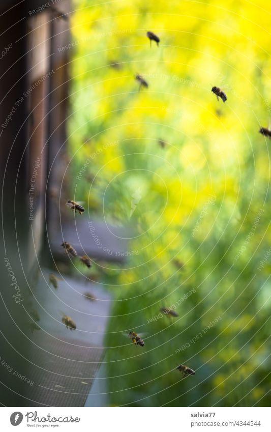 Bienenstock im Rapsacker Honigbiene Imkerei fliegen Arbeit & Erwerbstätigkeit Insekt fleißig emsig Nutztier Schwarm Teamwork Farbfoto Außenaufnahme summen