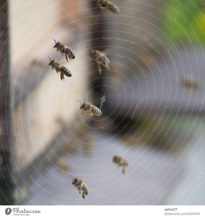 Bienenflug Honigbienen Imkerei fliegen Flug Bienenstock Insekt Natur Arbeit & Erwerbstätigkeit fleißig emsig Teamwork Ausdauer Schwarm Nutztier Menschenleer