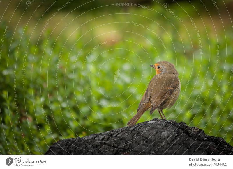 Scottish redbreast II Natur Frühling Sommer Schönes Wetter Pflanze Gras Grünpflanze Wiese Tier Wildtier Vogel Flügel 1 braun gelb grün orange schwarz