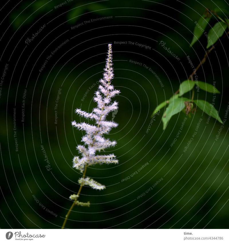 Zuneigung Blume Blüte Neugier frech wachstum besonders stolz allegorie ast zweig blatt divers zuneigung annäherung astilbe prachtspiere