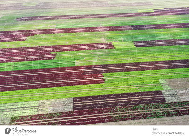 Salatanbau Landwirtschaft ländlich feld ackerbau Landschaft gestreift Grün verrotten luftaufnahme Drohnenaufnahme