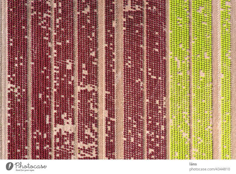 Landwirtschaftliche Anbaufläche Lebensmittel pflanze luftaufnahme Linie Reihe gestreift wachsen Gemüse Farbfoto Grün Ernährung Salat Veganer Pflanze grün
