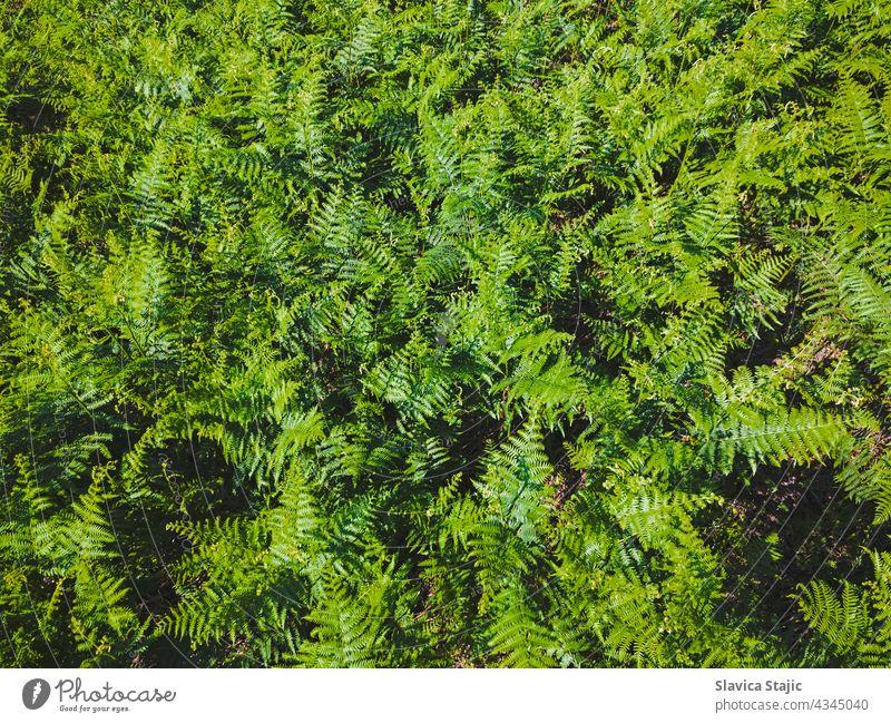 Grüne Blätter von Farnwedeln. Hintergrund von wildem grünem Farn, der im Sommer blüht. Ansicht von oben horizontal im Freien Textfreiraum Muster malerisch