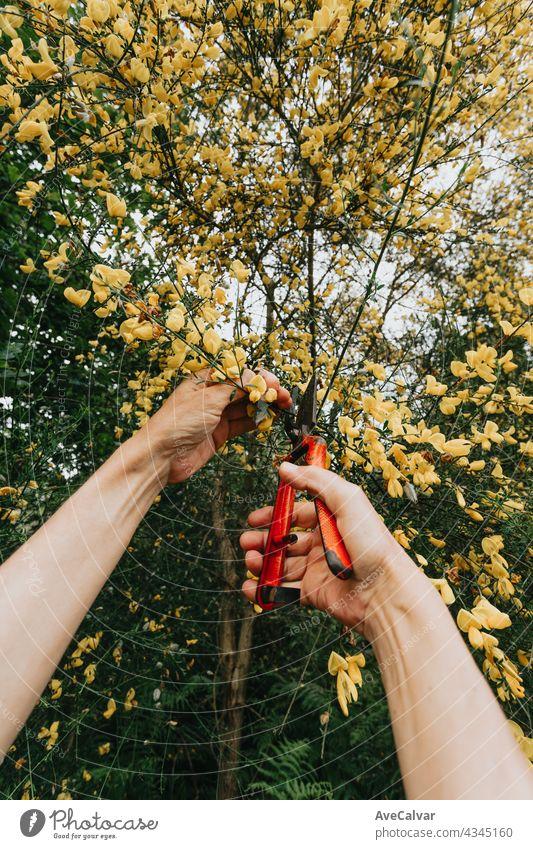 Gartenarbeit Konzept - Gärtner in sonnigen Garten pflanzen rote Rosen. Senior Frau 80 Jahre alt arbeiten im Garten Großmutter Person älter