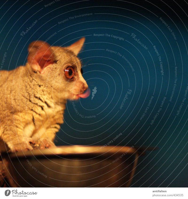 Galago blau Tier gelb dunkel Auge Bewegung lustig Essen außergewöhnlich Metall braun Wildtier Geschwindigkeit Fröhlichkeit beobachten fantastisch
