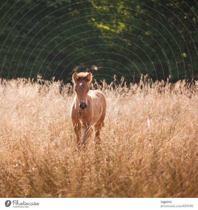 Fohlenweide Natur grün Pflanze Sommer Landschaft Tier Wiese Tierjunges Leben Gras klein Stimmung braun Feld Zufriedenheit warten