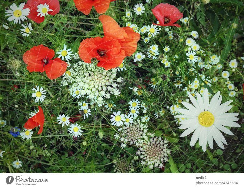 Naturalien Wiese Blume Pflanze Mohn Wiesenblume Blühend Wachstum natürlich rot grün weiß mehrfarbig Umwelt Lebensfreude Außenaufnahme Farbfoto Menschenleer Tag