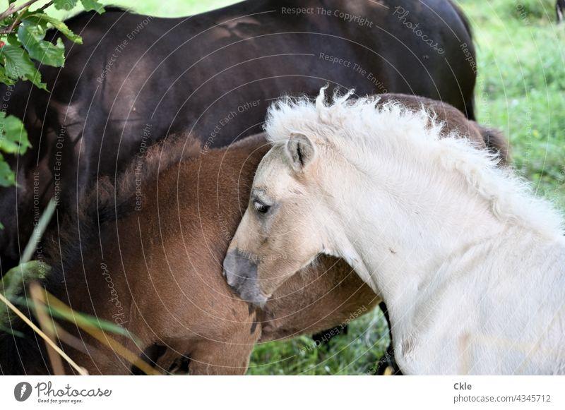Fohlen Pferde Tier Wiese Natur Außenaufnahme Sommer Weide Tierporträt Anhänglichkeit Kuscheln Säugetiere Reittiere Fressen Gras Landschaft Farbfoto grün braun