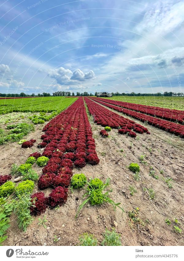 Salatanbau Nahrungsmittel Landwirtschaft Lebensmittel grün Feld Vegetarische Ernährung Pflanze frisch Gesunde Ernährung Gemüse Farbfoto Nutzpflanze wachsen