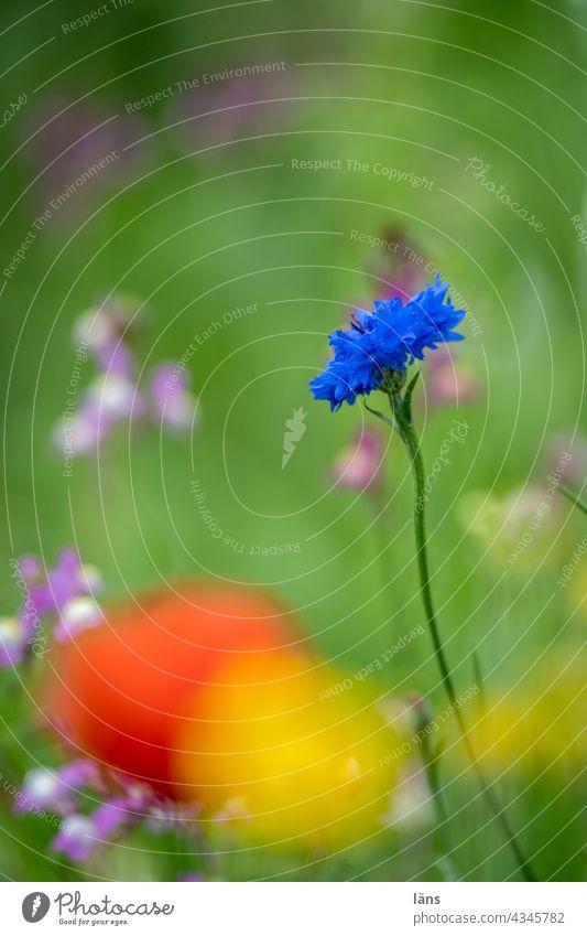 Kornblumen Blau Blume blau Pflanze Sommer Blühend Umwelt Blüte natürlich Außenaufnahme Menschenleer Blumenwiese Wildpflanze