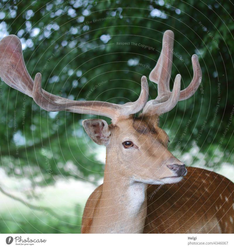 der Boss -  Damhirsch in einem Wildgehege Tier Hirsch Damwild Tierporträt Kopf Geweih Schaufelgeweih Nahaufnahme Fell geflecktes Sommerfell Natur Wildtier