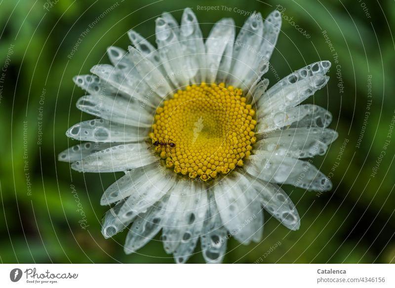 Nach tagelangem Regen erscheinen die Blütenblätter der Margarete immer transparenter Gelb Grün Weiß Tageslicht verblühen duften Wiesenblume Margarite Blume Tier