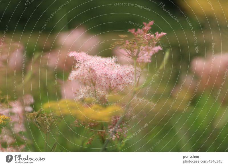 rosa Gräser. Die Schönheit der Natur pflanze gräser natur sanft schön zart weich Unschärfe sommer blühen pracht