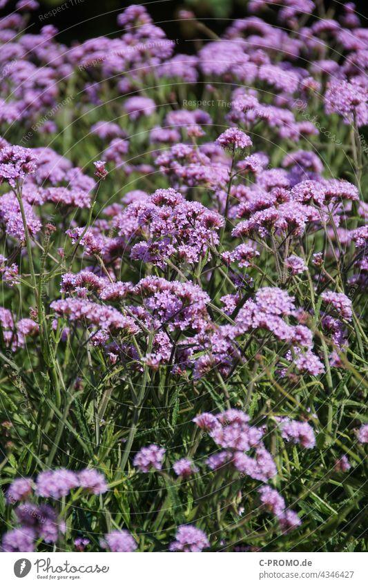 Echtes Eisenkraut blüten garten grün lila Blume Gartenblume Natur