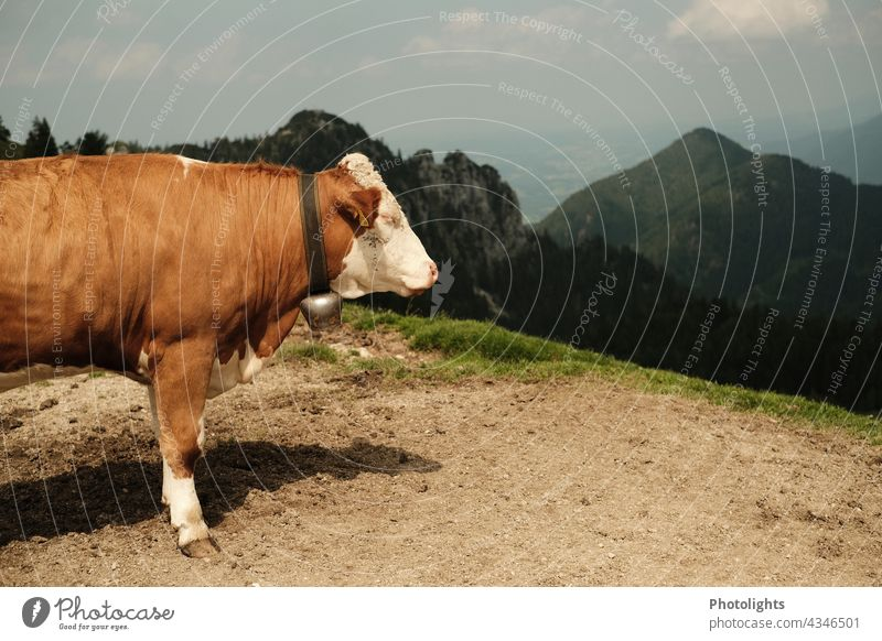 Seitenansicht einer Kuh mit Glocke. Sie steht auf einem Berg und sieht ins Tal Weide Felsen Wiese Weg Berge u. Gebirge Natur Landschaft Sommer Alpen Tier braun