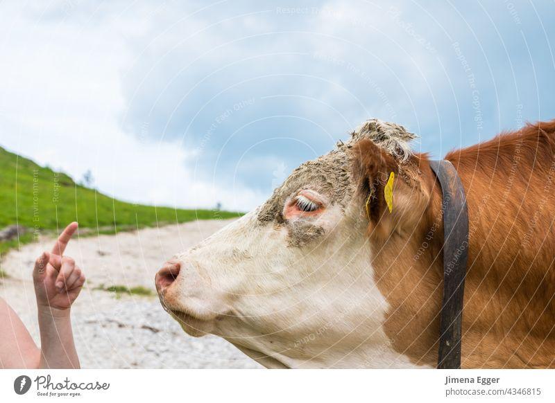 Kuh auf der Alm Almkühe Biologische Landwirtschaft Freilandhaltung ökologische Viehzucht Bergbauer Fleckvieh Milchkuh Almwiese