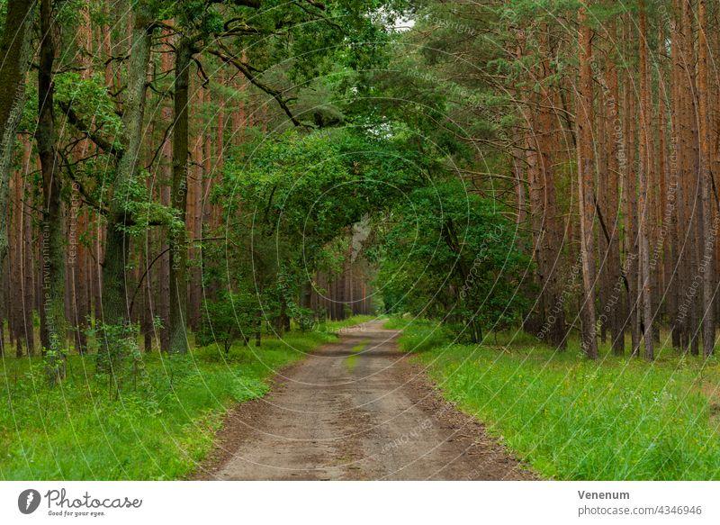 Sandiger Waldweg in einem Kiefernwald, vereinzelte Eichen am Wegesrand Schneise Wälder Baum Bäume Gras Ast Niederlassungen Natur Holzfällerei Holzwirtschaft