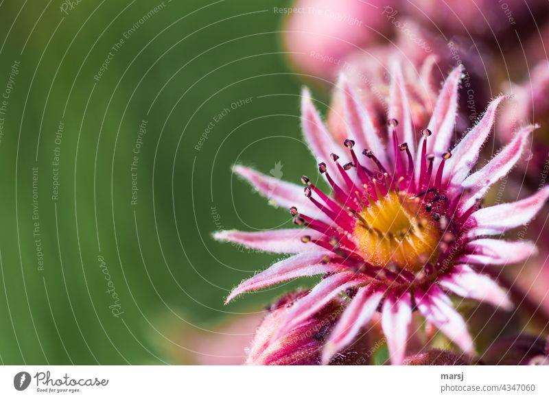 Blüte der Sempervivum. Oder einfach eine Sukkulente die gemeinhin als Hauswurz bezeichnet wird. Sukkulenten Makroaufnahme Pflanze Wachstum Blatt Heilpflanze