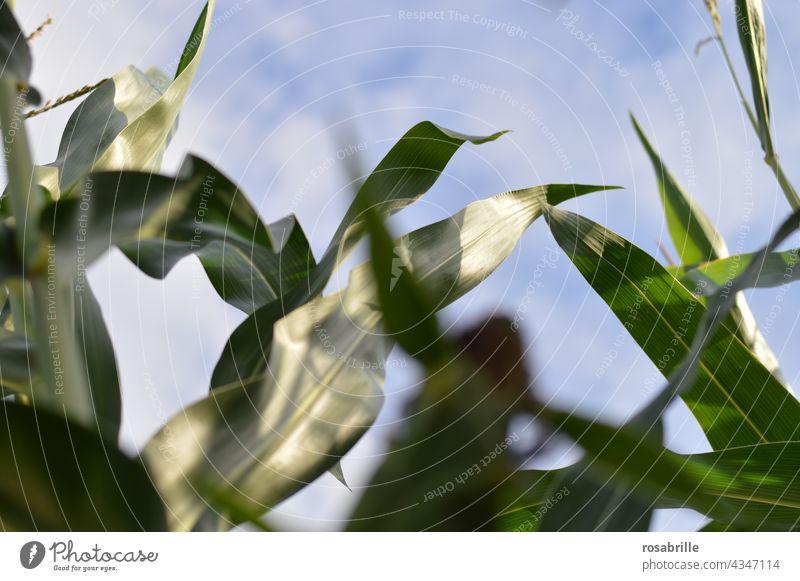 Zwischenräume | Maisfeld von innen Himmel gen Himmel wachsen Ackerbau Lebensmittel Landwirtschaft Dynamik dynamisch Wachstum Ertrag Pflanze Natur grün natürlich