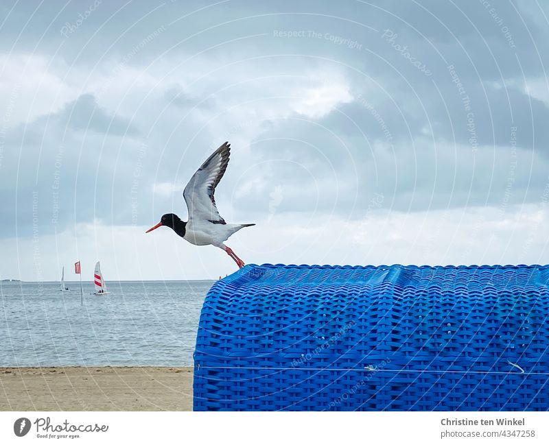 Austernfischer startet von einem blauen Strandkorb am Nordseestrand Fliegen starten abheben Nordseeinsel Wasser Meer Wolken Absprung Ferien & Urlaub & Reisen