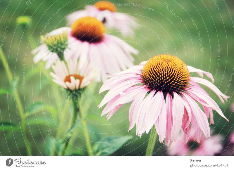 Roman Tik Natur grün Pflanze Blume ruhig Wärme Wiese Blüte Garten rosa ästhetisch Freundlichkeit Blühend Romantik verträumt Sonnenhut