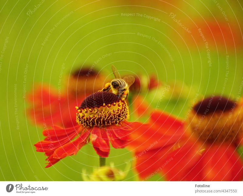 Gärtnern für Anfänger XIII - Da drüben war ich noch nicht. Da ist doch noch was leckeres denkt die Honigbiene auf der blühenden Sonnenbrautblüte. Blume
