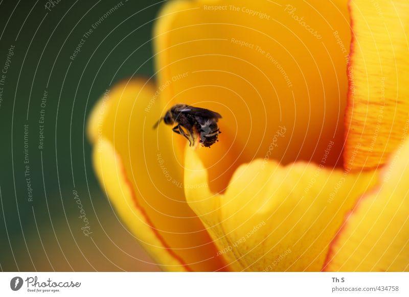 Biene Tier Wildtier 1 Blühend Natur Pflanze Farbfoto Außenaufnahme