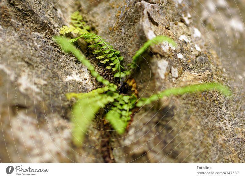 An einem grauen Felsen wächst ein junger Farn. Natur Pflanze Farbfoto grün Außenaufnahme Menschenleer Tag Schwache Tiefenschärfe Nahaufnahme Grünpflanze