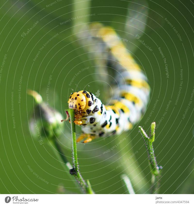 Raupe eines Königkerzen-Mönch beim fressen. Fressen Natur Schmetterling Nachtfalterraupe Insekt Tier Makroaufnahme grün krabbeln Pflanze schwarz gelb