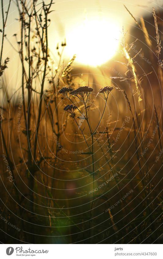 Sommerabend in einer Wiese mit Gras und Blumen Sonnenuntergang Licht Schatten Natur Außenaufnahme Farbfoto Pflanze Menschenleer Abend Sonnenlicht Schönes Wetter