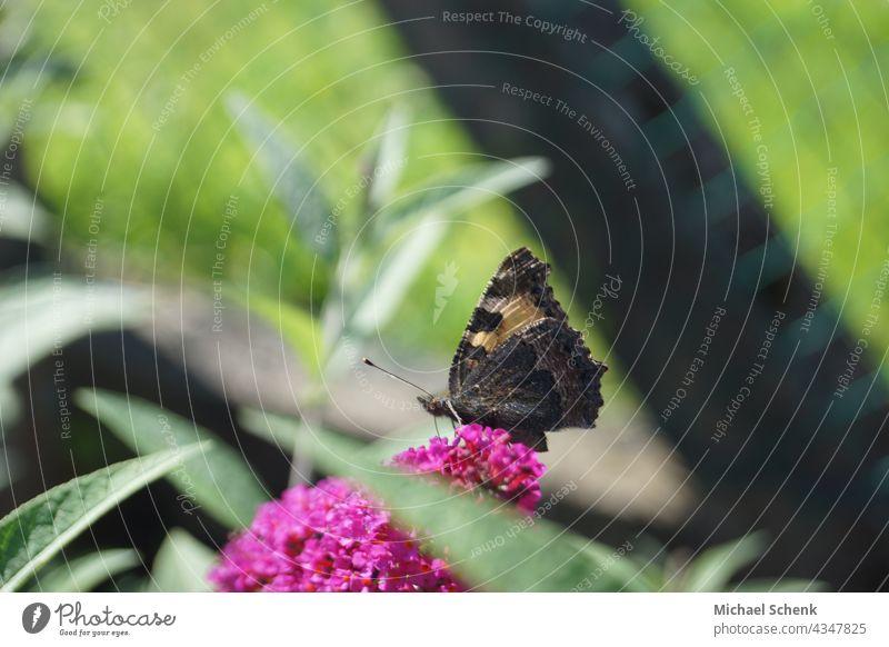 Ein Schmetterling auf der Blüte eines Sommerflieders Schmetterlinge, Sonne, Pflanzen, Flieder  Natur, Frühling Farbfoto Nahaufnahme Schwache Tiefenschärfe