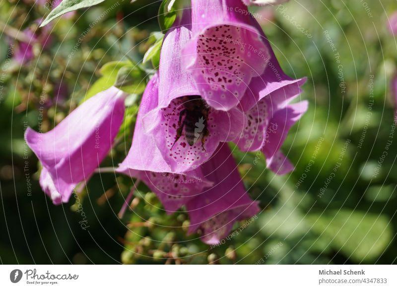 Glockenblume in voller Pracht und Farbe mit Biene in der Blüte Blumen,pflanzen, glockenblume, farben, Garten Natur Farbfoto Blühend Nahaufnahme Sommer Frühling