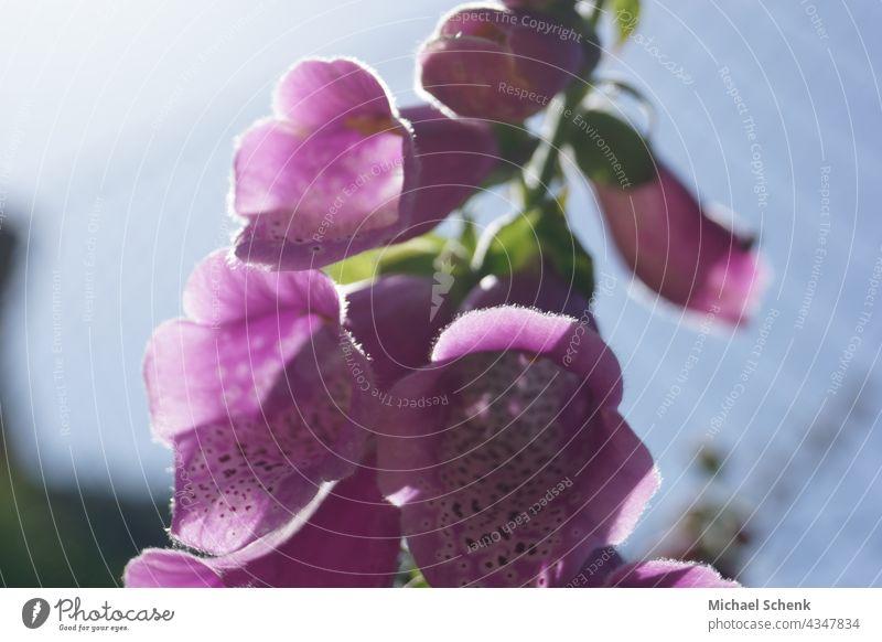Glockenblume in voller Blüte Blume, Glockenblume, Blüte, Natur Pflanzen, natürlich aufblühen natürliche Farbe Garten Hintergrund neutral natürliches Licht