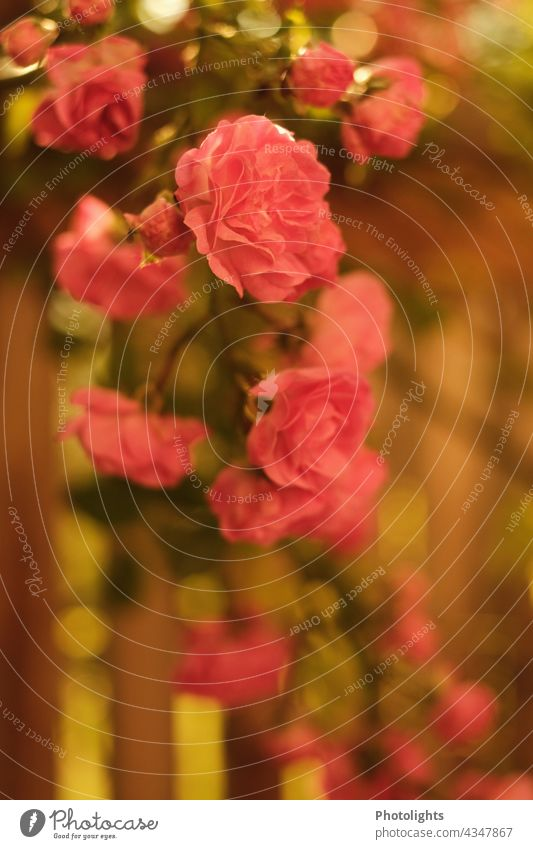 Rosen im Morgenlicht Sonnenaufgang Kletterrose rosa grün warm Holz Holzbalkon Holzbrüstung Blätter Holzgeländer Blüten Pflanze Blume Sommer Garten Außenaufnahme