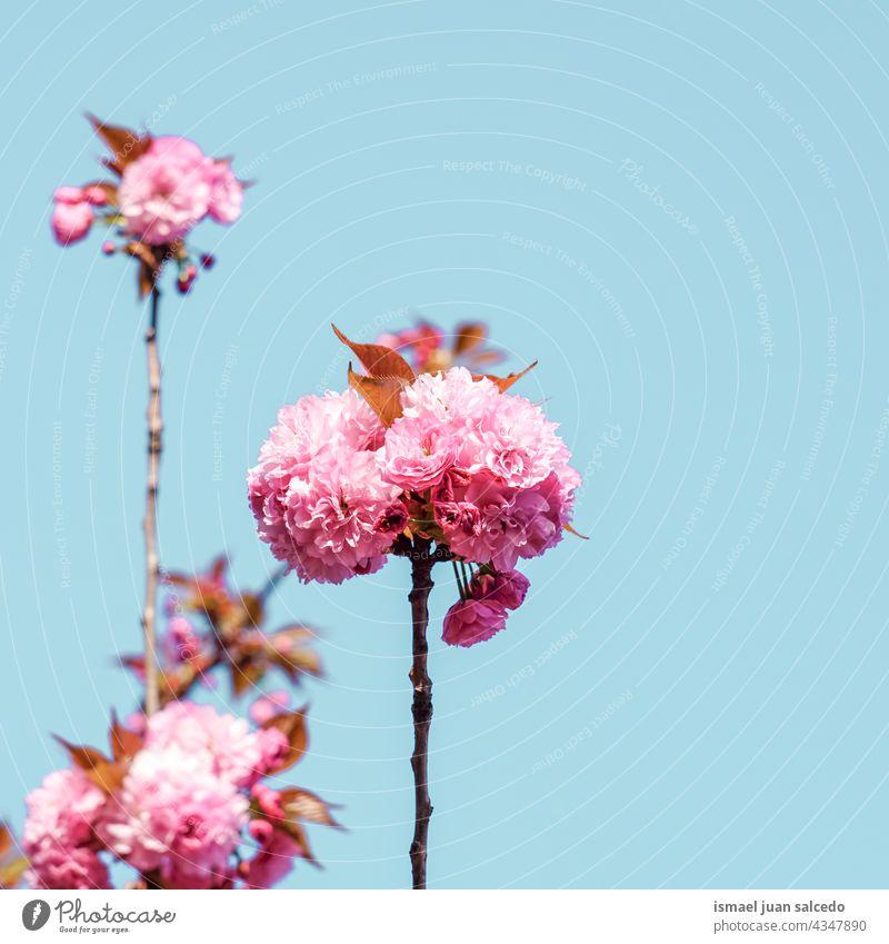 schöne rosa Baumblüten im Frühling Blume Blütenblätter Pflanze Garten geblümt Flora Natur natürlich dekorativ Dekoration & Verzierung romantisch Schönheit