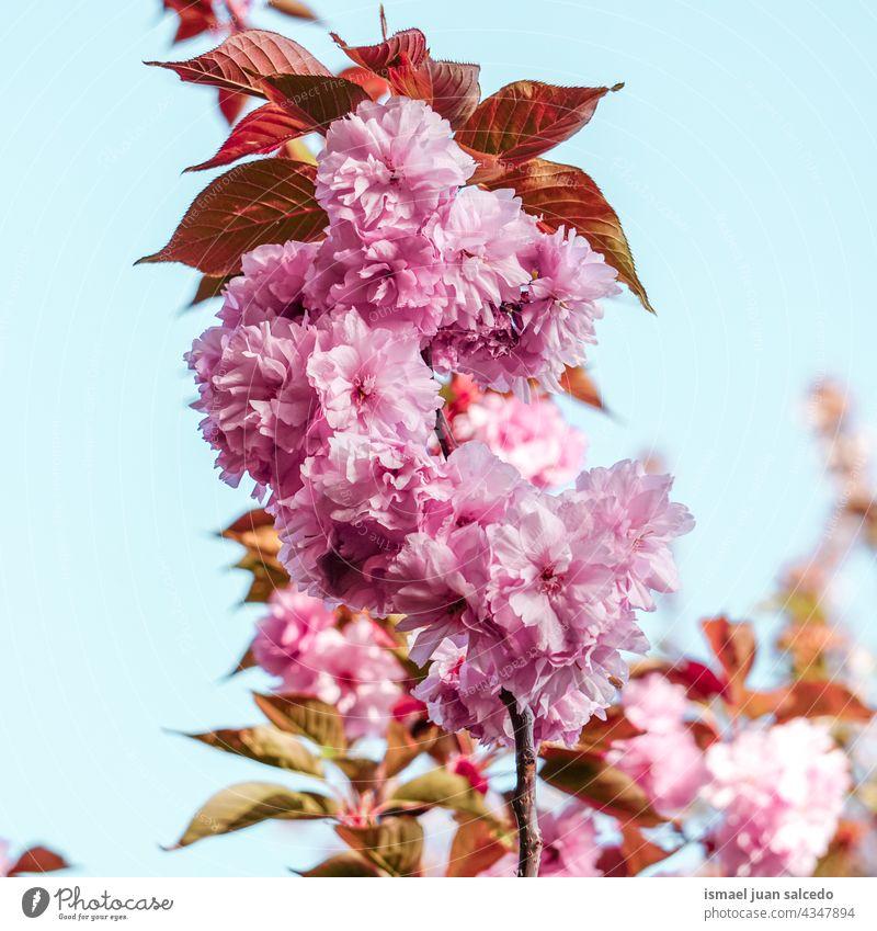 rosa Blumen im Frühling Blütenblätter Pflanze Garten geblümt Flora Natur natürlich dekorativ Dekoration & Verzierung romantisch Schönheit Zerbrechlichkeit